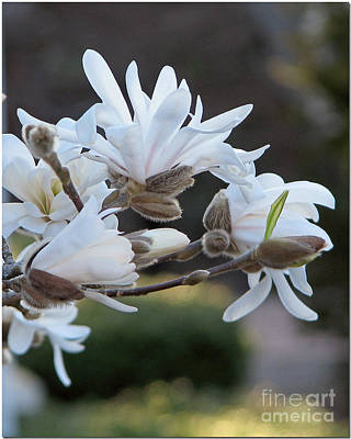 Photograph - Magnolia Bokeh by Chris Anderson