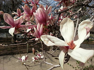 Print featuring the photograph Magnolia Branches by Caryl J Bohn