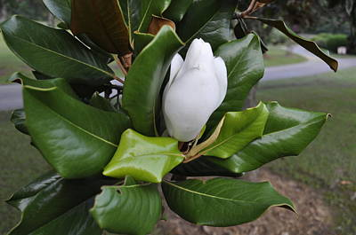 Photograph - Magnolia Bud 8 by Terry Sita
