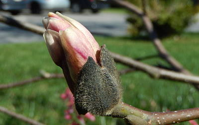 Photograph - Magnolia Bud by Betty-Anne McDonald