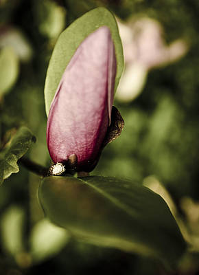 Photograph - Magnolia Bud by Heather Grow