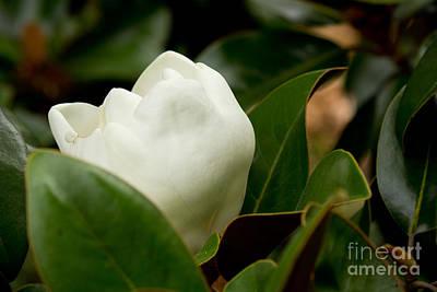 Photograph - Magnolia Bud Peeking by Sandra Clark