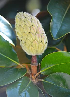 Photograph - Magnolia Bud  by Richard Bryce and Family