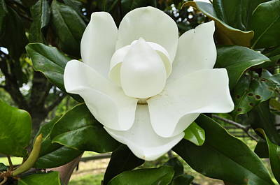 Photograph - Magnolia C by Terry Sita