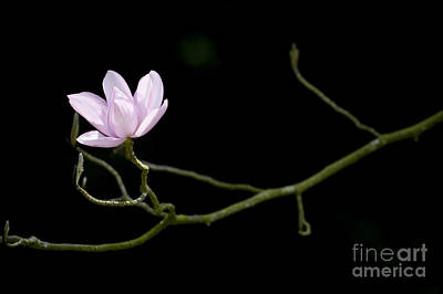 Magnolia Campbellii Darjeeling Flower Art Print by Tim Gainey