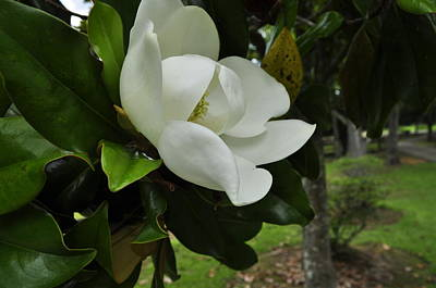 Photograph - Magnolia D by Terry Sita