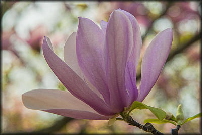 Photograph - Magnolia by Erika Fawcett