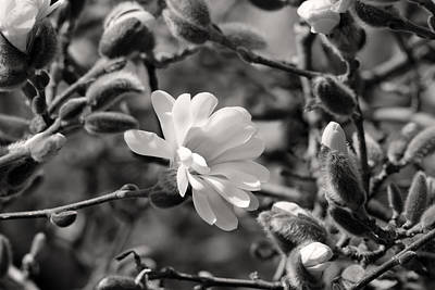 Photograph - Magnolia First Bloom by Pierre Leclerc Photography