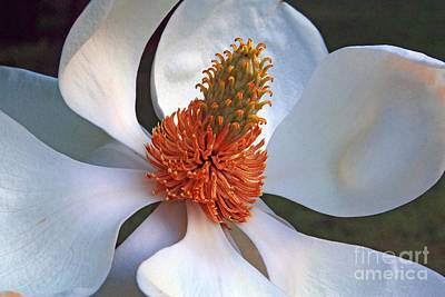 Photograph - Magnolia Flower by Bob McGill