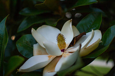 Photograph - Magnolia Flower by Nathan Hillis