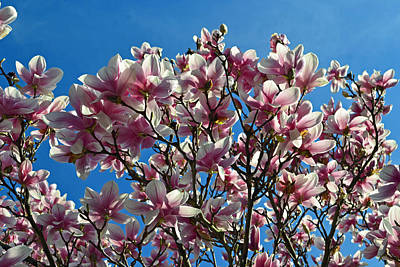 Photograph - Magnolia Flowers by Cyryn Fyrcyd