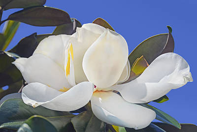 Photograph - Magnolia by Francesa Miller