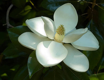 Magnolia Print by Frank Tozier