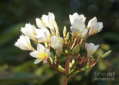 Photograph - magnolia from Madagascar by Rudi Prott