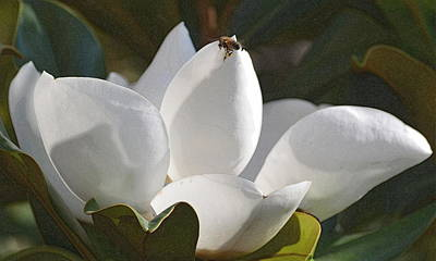 Photograph - magnolia Glory  by Rima Biswas