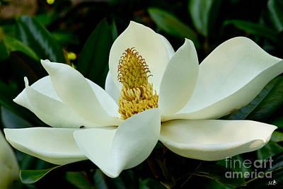 Photograph - Magnolia Glory by Sandra Clark