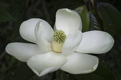 Photograph - Magnolia Grandiflora Blossom - Simply Beautiful by MM Anderson