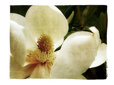 Photograph - Magnolia I by Tanya Jacobson-Smith
