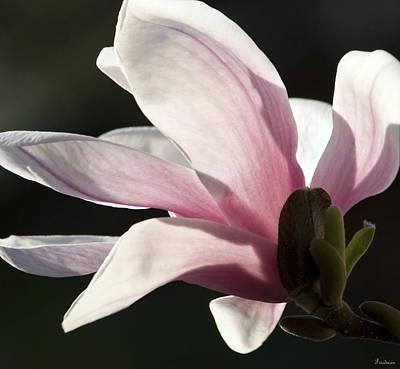 Photograph - Magnolia II by Michael Friedman