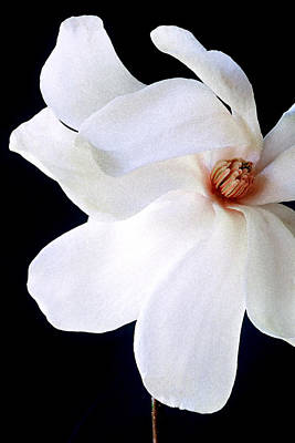 Photograph - Magnolia IIi by Michael Moschogianis