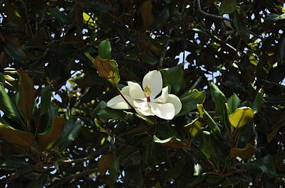 Photograph - Magnolia In Sunlight by Terry Sita
