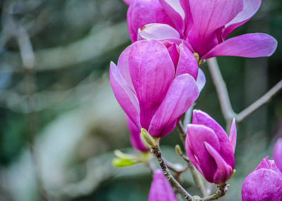 Fuschias Photograph - Magnolia by Jon Woodhams