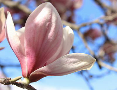Photograph - Magnolia by Joseph Skompski