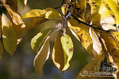 Photograph - Magnolia Leaves 20121020_1_01 by Tina Hopkins
