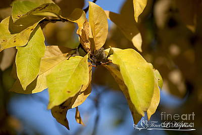 Photograph - Magnolia Leaves 20121020_1_03 by Tina Hopkins