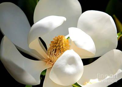 Photograph - Magnolia Magic by Carol Groenen