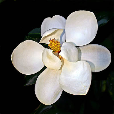 Hot Photograph - Magnolia by Marcia Colelli