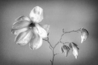Photograph - Magnolia by Mikael Carstanjen