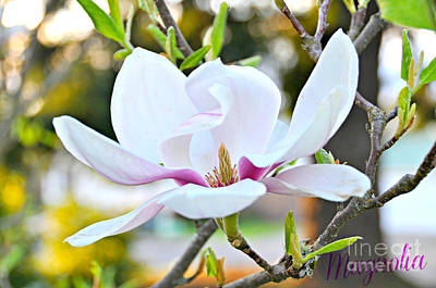 Oregon Photograph - Magnolia  by Mindy Bench