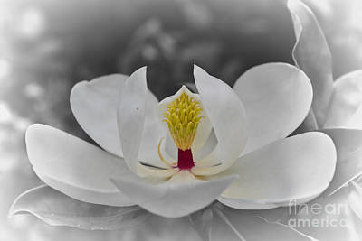 Photograph - Magnolia  by Olga Hamilton
