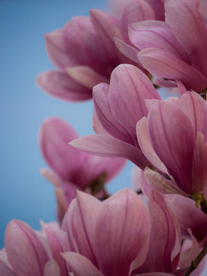 Photograph - Magnolia On Blue Sky by Rob Amend