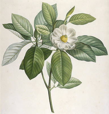Blooming Painting - Magnolia by Pierre Joseph Redoute