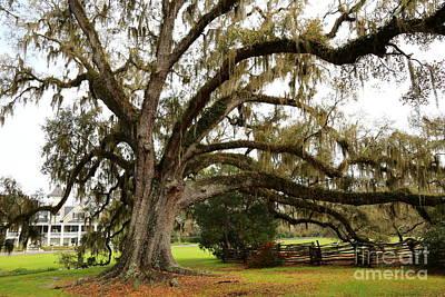 Photograph - Magnolia Plantation Tree by Carol Groenen