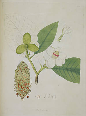 18th Century Photograph - Magnolia Pterocarpa by British Library