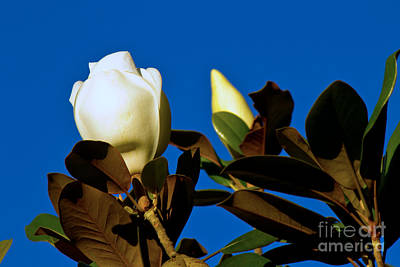 Photograph - Magnolia Reaching For The Sky by Sandra Clark