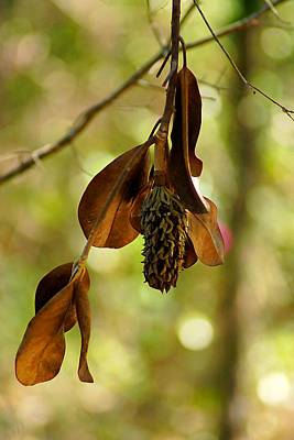 Photograph - Magnolia Seed Pod And Dried Leaves by Beth Akerman