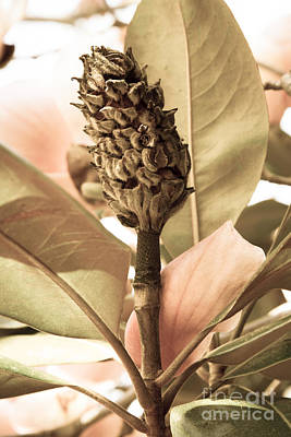 Photograph - Magnolia Seed Pod by Chris Scroggins
