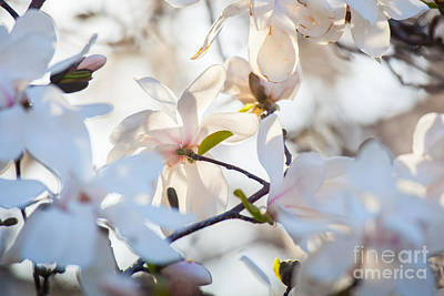 Magnolia Spring 3 Art Print by Susan Cole Kelly Impressions