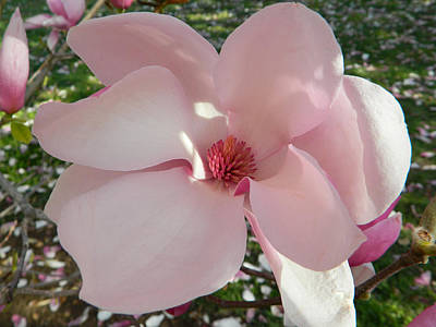 Photograph - Magnolia Surprise by Emmy Marie Vickers