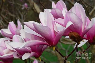 Photograph - Magnolia Tree Flower by Eva Kaufman