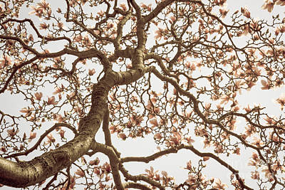 Photograph - Magnolia Trees 1 by Chris Scroggins
