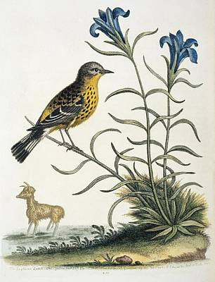 Gentian Photograph - Magnolia Warbler, 18th Century Artwork by Science Photo Library