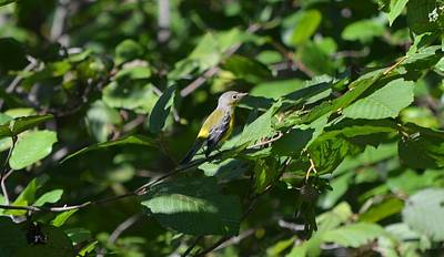 Magnolia Warbler Photograph - Magnolia Warbler by James Petersen