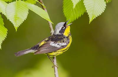 Yellow Warbler Photograph - Magnolia Warbler by Mircea Costina Photography
