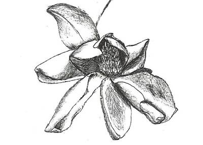 Magnolia Flower Drawing - Magnolia Wilt by Calli Driggers