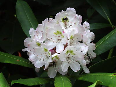 Photograph - Magnolia's Best by Bj Hodges